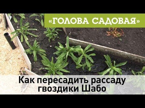 Голова садовая - Как пересадить рассаду гвоздики Шабо