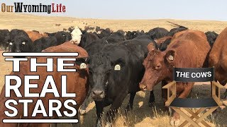 the-cows-of-the-ranch-and-how-they-think