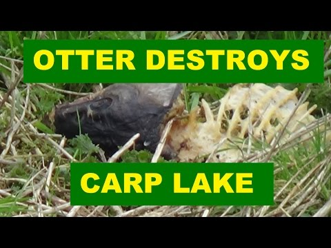 Otter Destroys Carp Lake