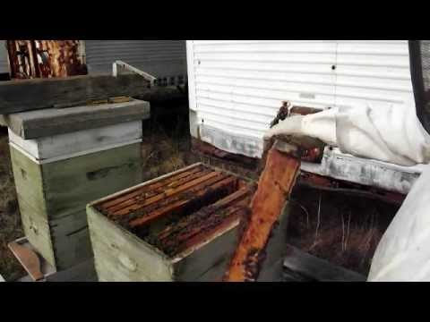 Russian Honey Bee Queen early March Wisconsin Inspection ... - photo#15