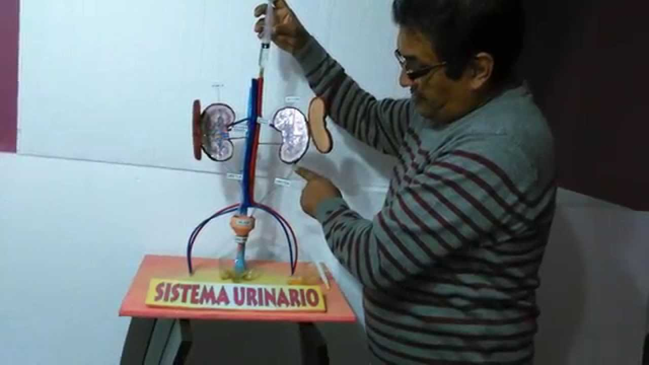 SISTEMA URINARIO FUNCIONAL - YouTube