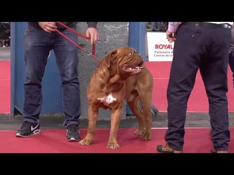 Dogue de Bordeaux at French Dog Show (Toulouse 2020 Expo Canine)
