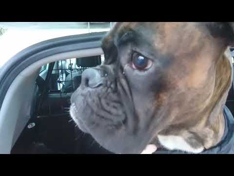 picking-up-my-boxer-boys-at-dog-daycare-today!