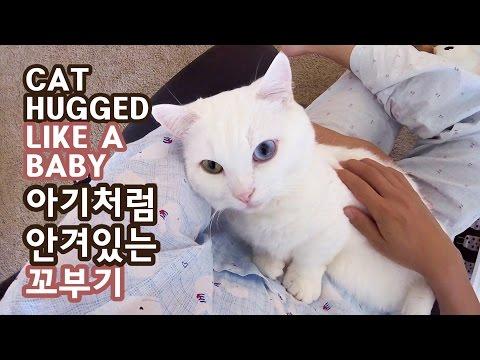 아기처럼 안긴 칭얼이 고양이 - 꼬부기 1살+6개월 Cat Gato ねこ 短足猫