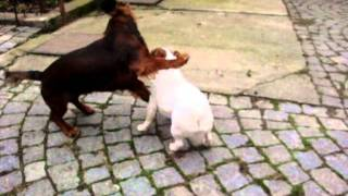 Jack Russell Terrier And Dachshund Playing Together
