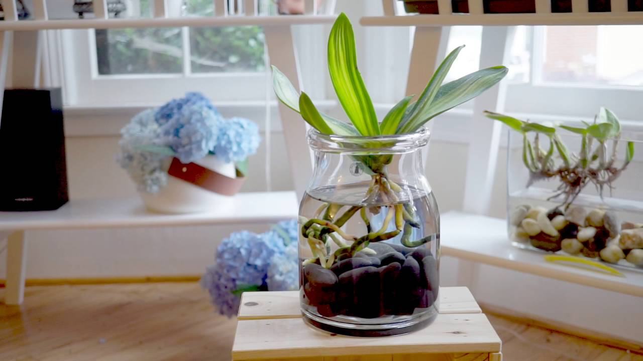 Orchids In Water Culture An Update Youtube