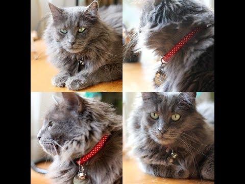 Nebelung Cat | Nebelung Cat Personality | Nebelung Cats 101