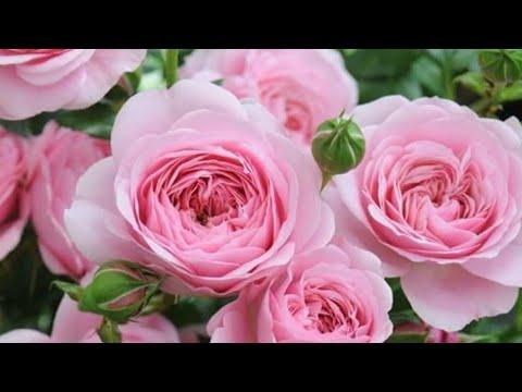 Розы в саду, что нужно делать сейчас!