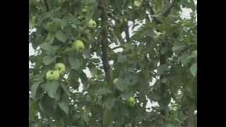 видео Агротехника    яблонь