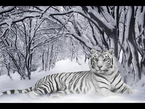 Tiger Animal Wallpaper 3d معلومات لأول مرة تعرفها عن النمر الثلجي النادر Rare Snow