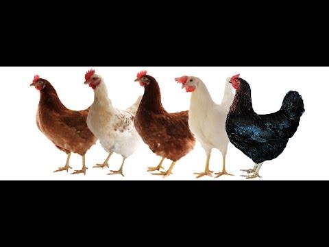 yumurtalık tavuk ve horozlar