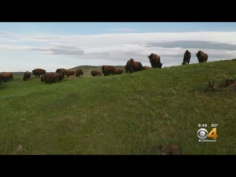 BEARDO - CSU teams up with California Zoo to breed more Bison