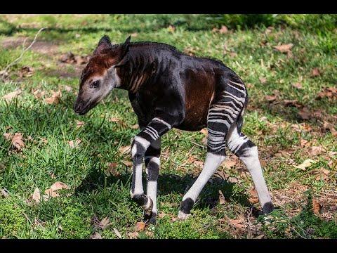 Curious Baby Okapi Explores Habitat