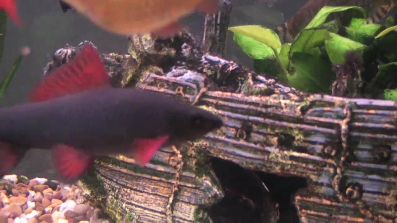 Freshwater aquarium fish rainbow shark - Adult Rainbow Shark