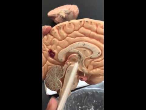 bio 141 somso brain model 1 youtubebio 141 somso brain model 1