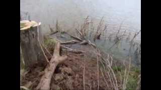Little English Springer Spaniel With Large Dockken Goose Dummy Mission Impossible ?