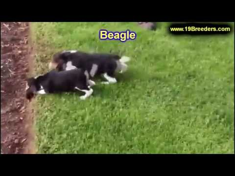 beagle,-puppies-for-sale,-in,-kent,-washington,-wa,-bainbridge-island,-mercer-island,-maple-valley,