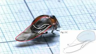 Wing-folding motion of a ladybird beetle