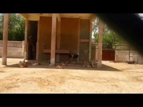 Reticulated or Somali Giraffe Kuwait Zoo