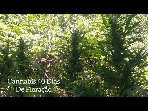Cannabis Sativa 40 Dias De Floração E 5 Meses De Vida #75 ( GORDÃO  THC )