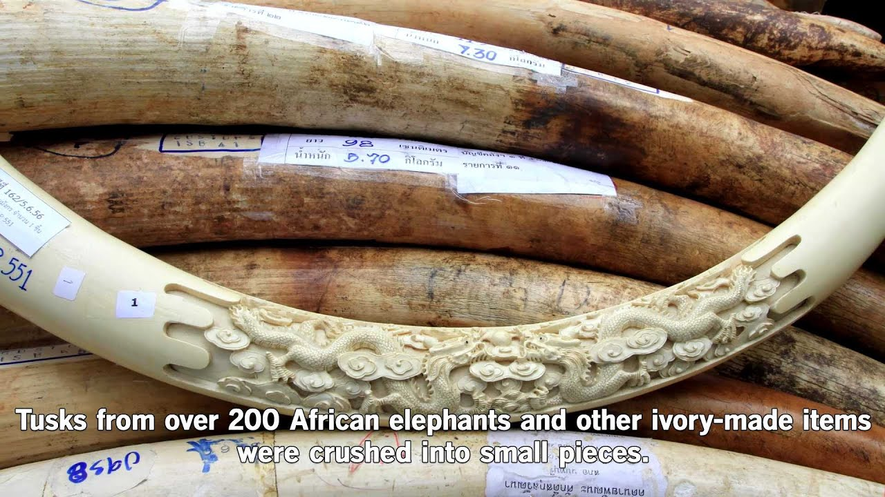 illegal ivory trade Elephant ivory is a key source of funding for armed groups in central africa like the lord's resistance army national geographic commissioned the creation of artificial tusks with hidden gps trackers that were planted in the smuggling supply chain.
