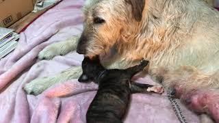 超大型犬 アイリッシュウルフハウンドのお母さんが、愛情たっぷり子育て...