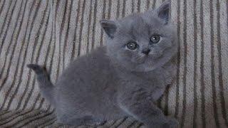 Quintilien Silvery Snow. Голубой британский котик.