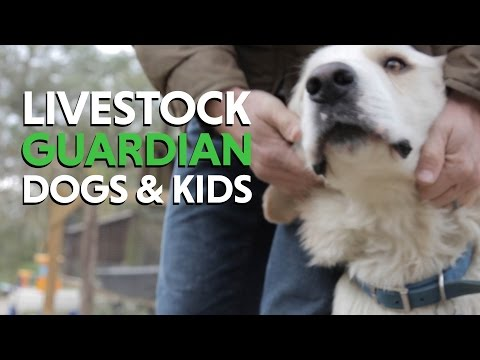 Great Pyrenees Livestock Guardian Dogs and Fencing for a new Homestead With Animals