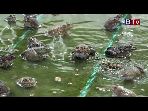 Agri Fish 16 9 2017AGRICULTURE : Frog Feeding in 7 Makara Fish Farm ( Date16 9 2017 04)_Vol.06 06