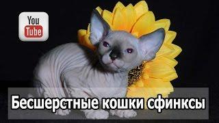 Бесшерстные кошки сфинксы. Загадочные сфинксы – кошки лысые