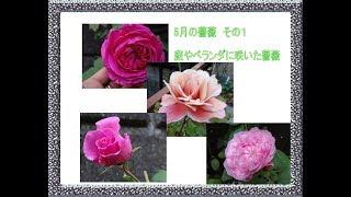 5月の薔薇その1(色の変わるディスタントドラムスやアンネの思い出など)