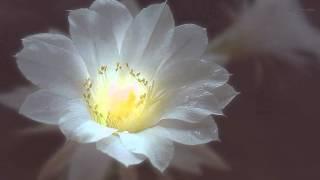 Ночные цветы Д Ряхин, романс  Night Flowers D.Ryahin