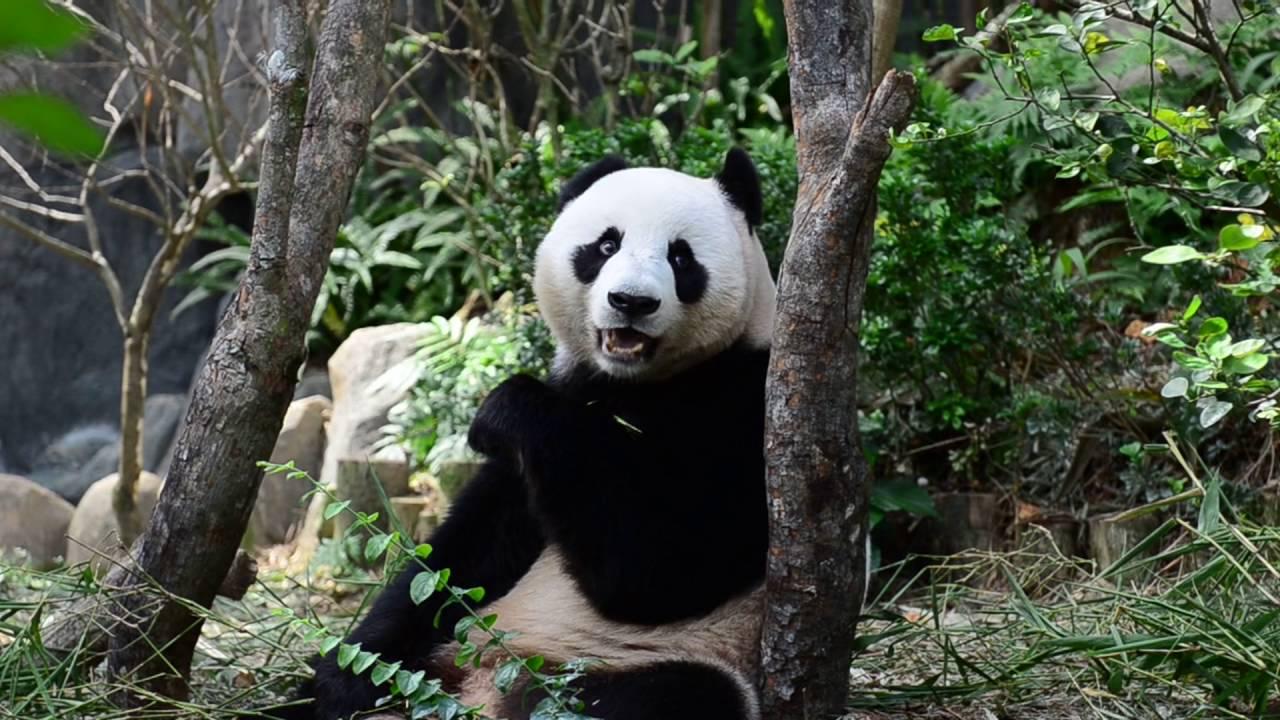 kumpulan video panda (lucu banget..!!!) - YouTube