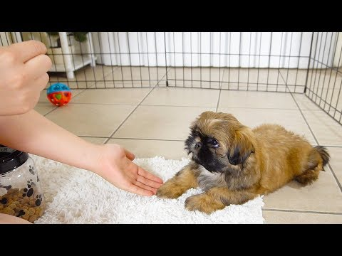 Puppy first training session | Shih Tzu is TOO CUTE!