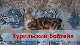 Курильский бобтейл — российская порода короткохвостой кошки.