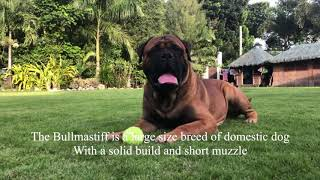 Bullmastiff dog breeds. At the Greatbull Villa Kennel.