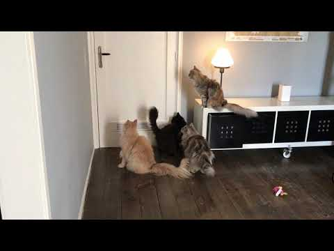 Maine Coon Cats Asking For A Treat By Meowing  / Talking Loud