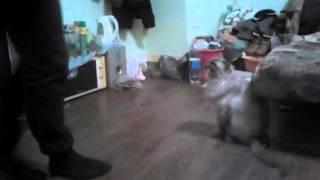 Гималайская кошка отвоевывает территоррию