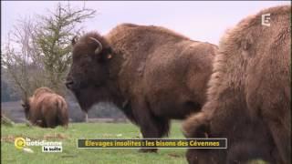 Elevages insolites : les bisons des Cévennes - La Quotidienne la suite