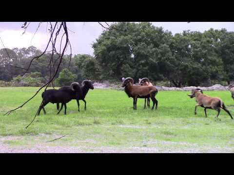 Barbados Ram Hunting At Razzor Ranch - Florida Exotic Hunting