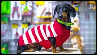 Shopaholic dog!!! Cute & funny dachshund dog video!