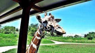 Safari Masai Mara - Zoológico Guadalajara - Recorrido Completo - Le di de comer a las jirafas
