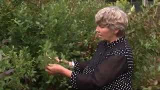 видео Посадка клюквы садовой: популярные сорта и правильный уход