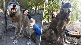 Um Abrigo Salvou Esse Cão-lobo Gigante, Depois um Teste de DNA Revelou Por Que Ele Era Tão Grande