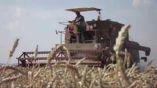 żniwa 2013 - pszenica, pszenżyto, żyto