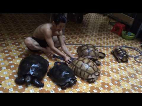 Tắm cho hai loài rùa khổng lồ_Bath for giant tortoise