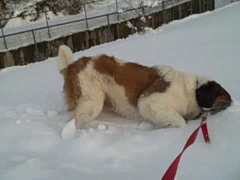 St Bernard Dog Playing In Snow Part 1 Youtube