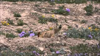 Black-tailed Prairie Dog Barking