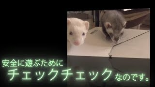 Ferrets are curious about cardboard boxes. ※All subtitles in the mo...