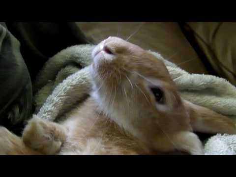 Butterscotch the Pet Bunny Rabbit Sleeping Like a Baby